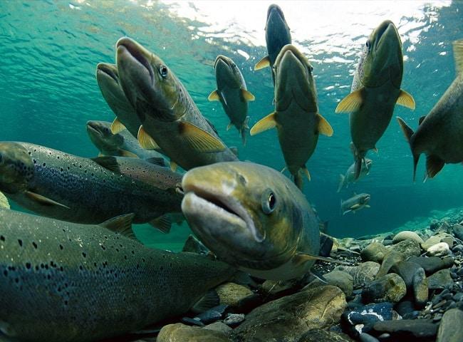 Cảm động tình mẫu tử, tình yêu quê hương của 3 loài cá