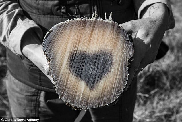 The extraordinary finding clearly shows a brilliantly dark black love heart shape in the centre of the milky white animal horn