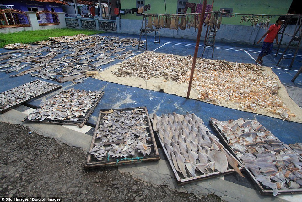 The shark fins are laid out to dry in the open on trays, lines and mats on the floor
