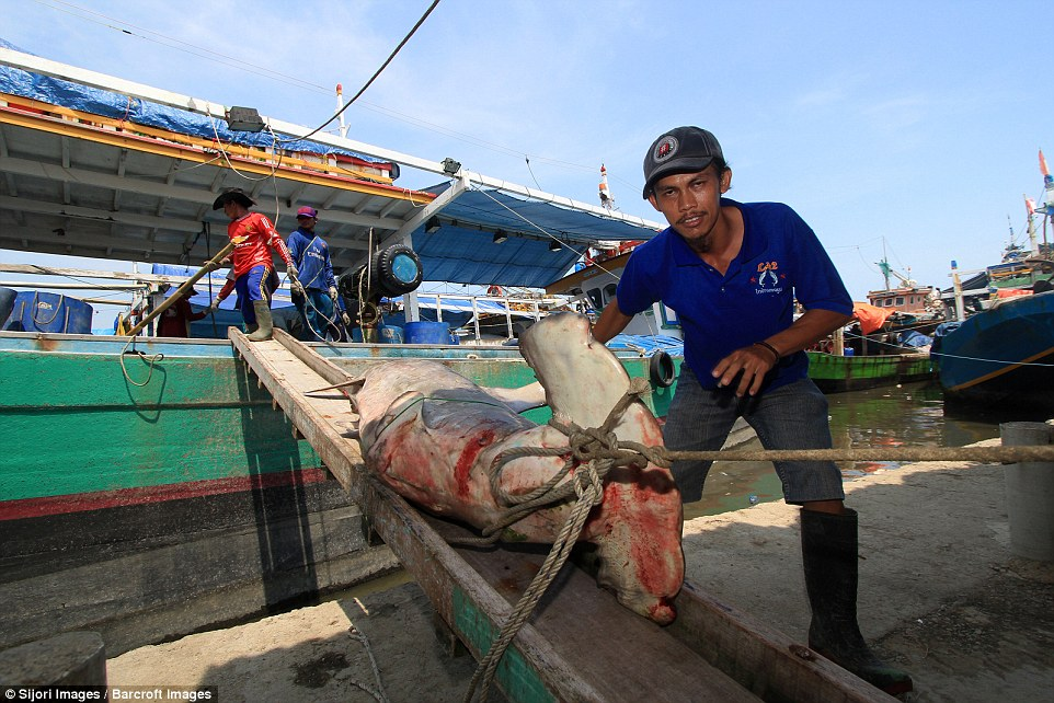 A workers poses with a large catch brought in on a fishing boat in West Java