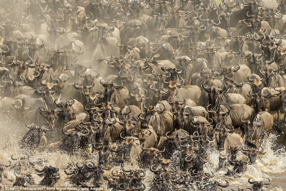 Watching thousands of wildebeest crossing the Mara river is a sight to behold. It is one of the most daring challenges that a wildebeest takes on in his life as it battles, not just the ferocity of the fast flowing river but also the lurking apex predators.