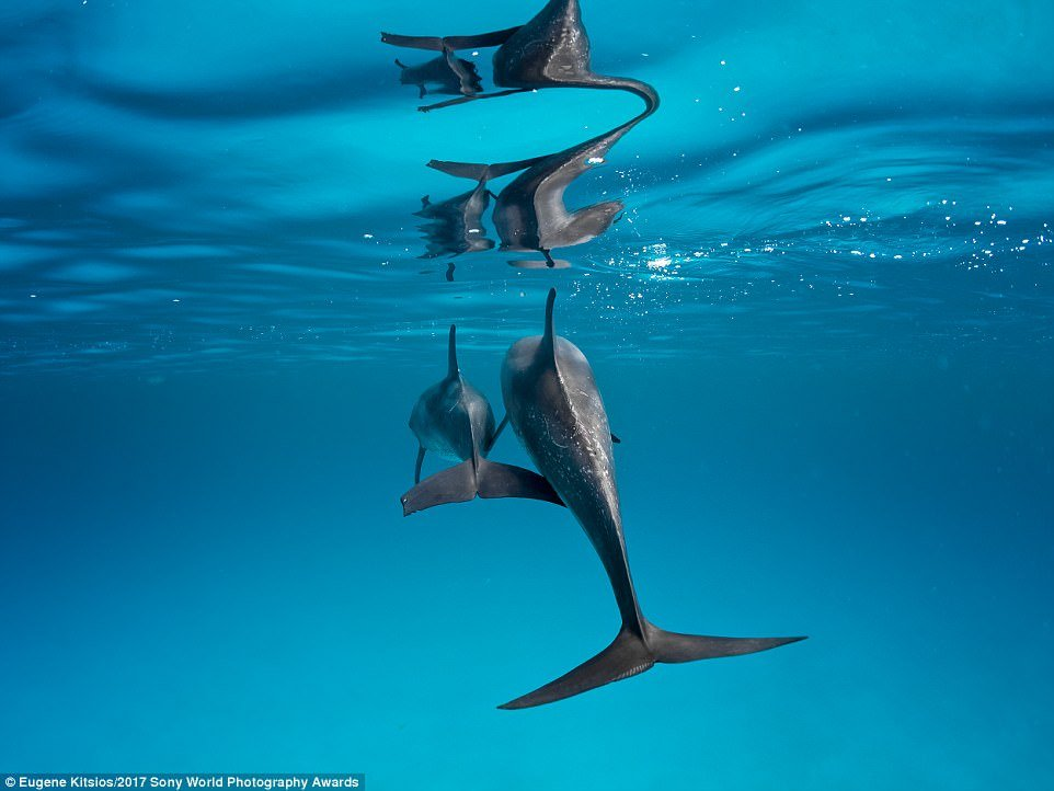 A mother Atlantic spotted dolphin and her calf peacefully swim by in the clear waters of the Bahamas