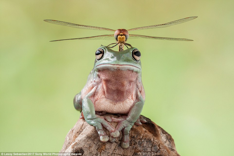 This picture of a dragonfly perched on top of a frog