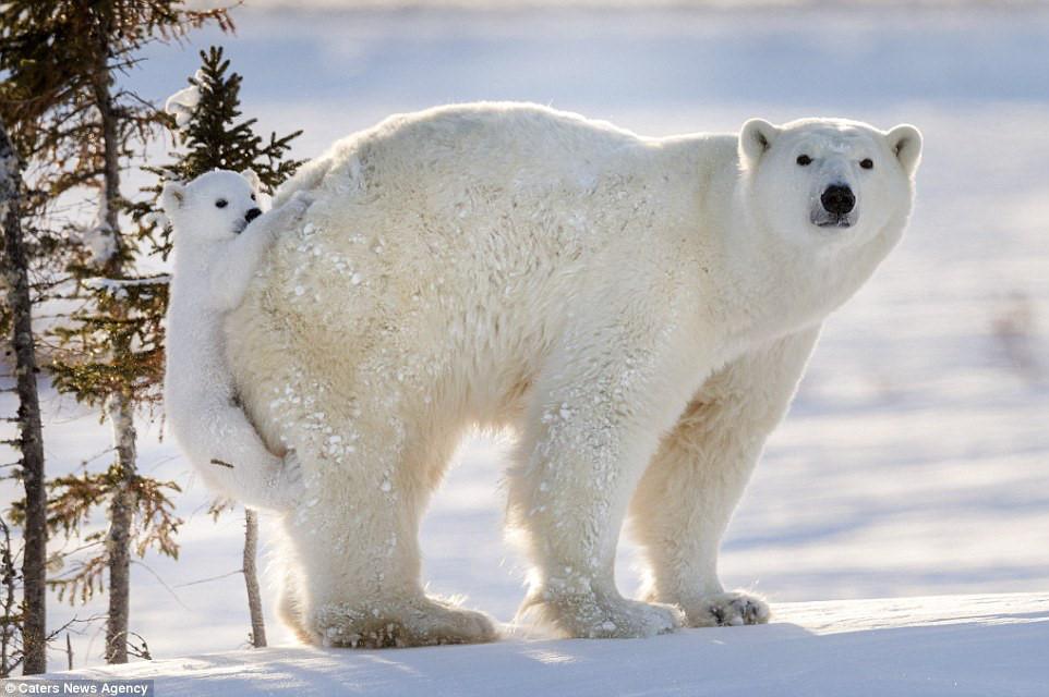 Kết quả hình ảnh cho gấu bắc cực canada