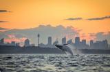 Khỏanh khắc diệu kỳ: Lần hiếm hoi cá voi lưng gù nhảy lên mặt nước lúc xế chiều ở cầu Cảng Sydney