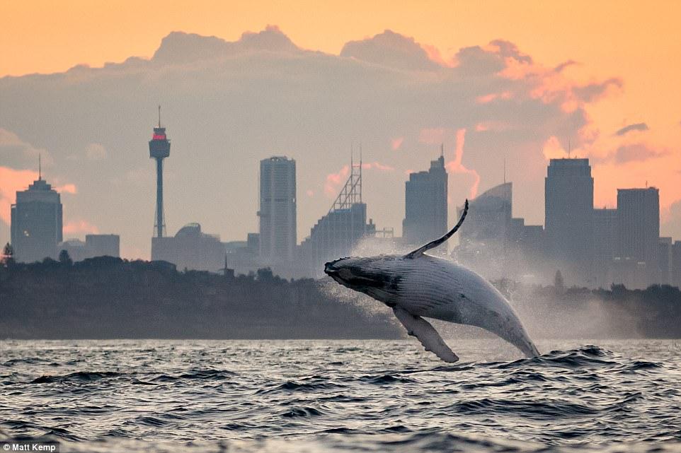 Cá voi nhảy lên khỏi mặt nước