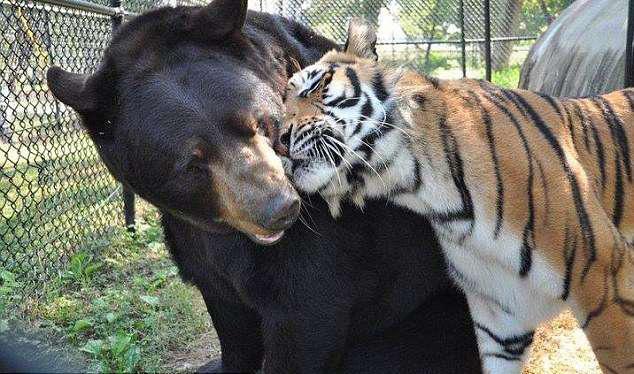 gia đình gấu hổ