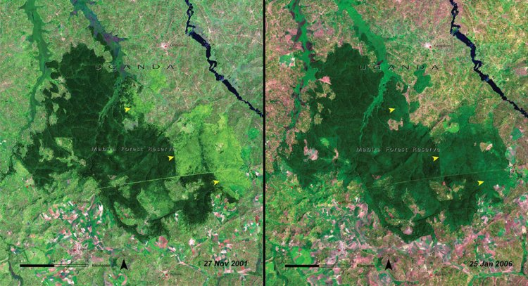 And deforestation continued to take a toll as time went on, as evidenced by this pair of images of the Mabira Forest in Uganda in 2001 (left) and the same area just 5 years later (right).