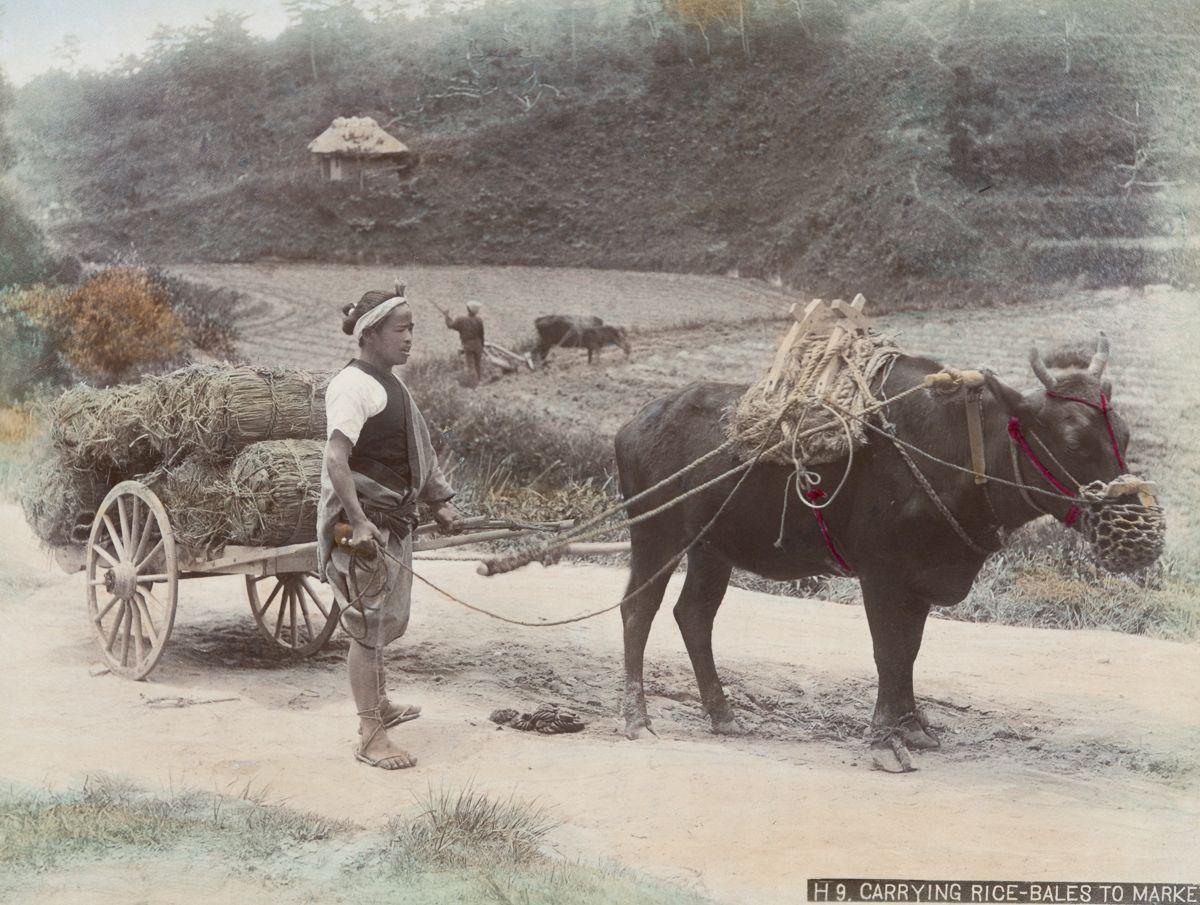 用牛车载米到市场。(New York Public Library)