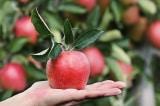 Mỗi ngày ăn 1 quả táo sẽ giúp bạn khỏe mạnh không ngờ