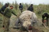 Quả báo nhãn tiền? Nhiều kẻ săn trộm tê giác bị đàn sư tử ăn thịt