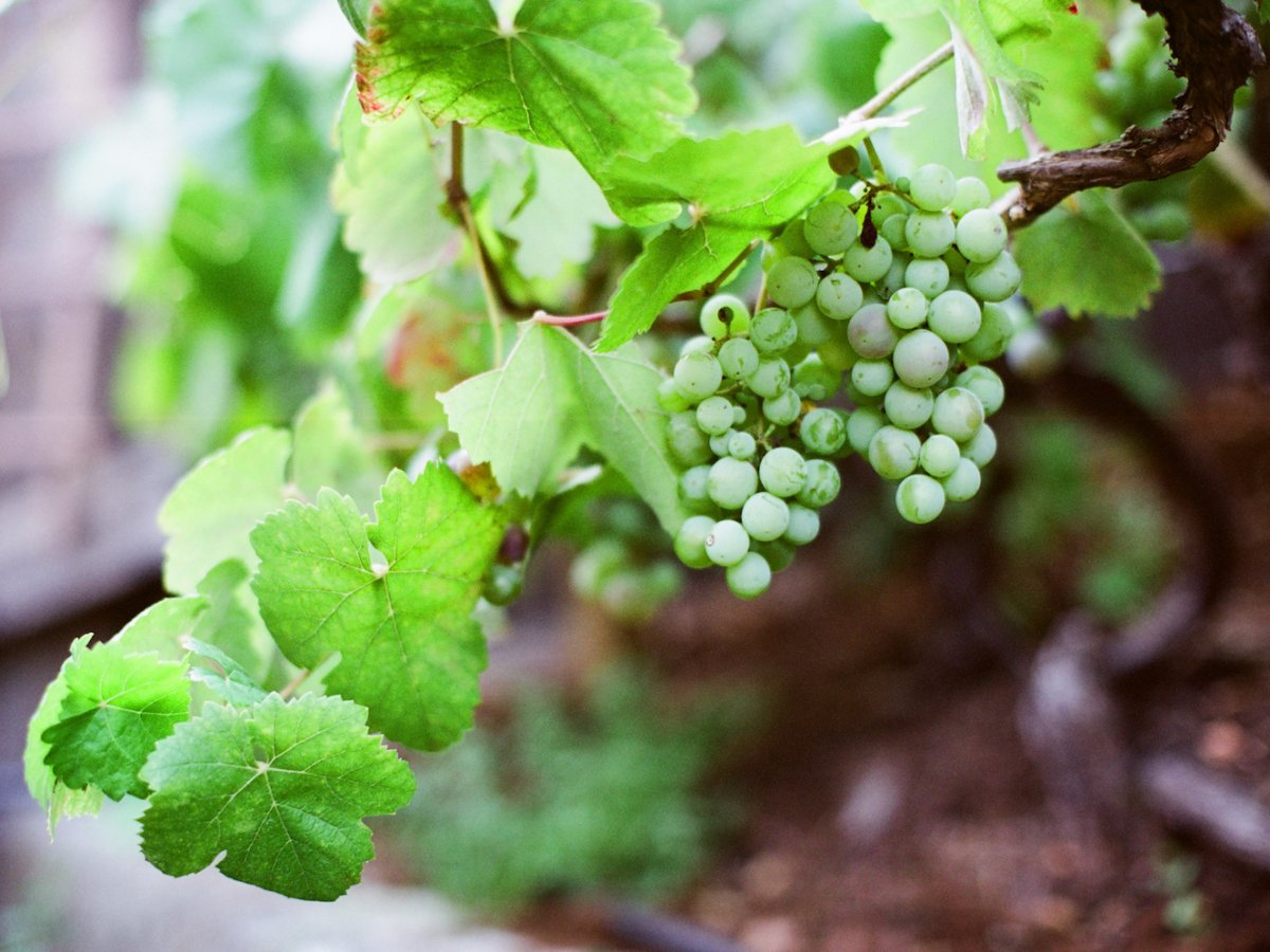 Spain: grapes