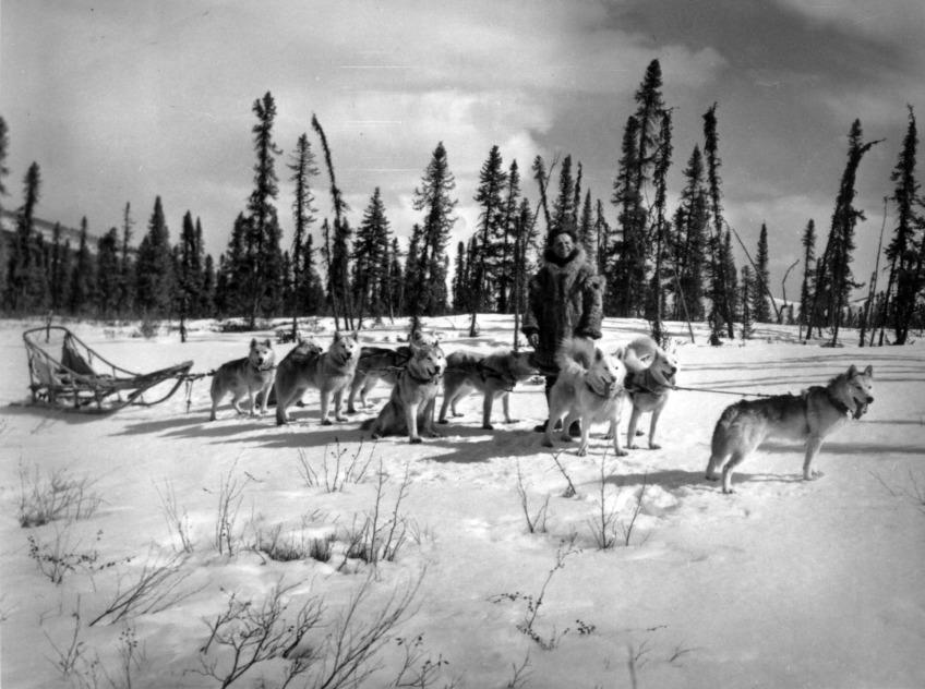 Câu chuyện có thật về 150 chú chó Husky cứu sống 10.000 người