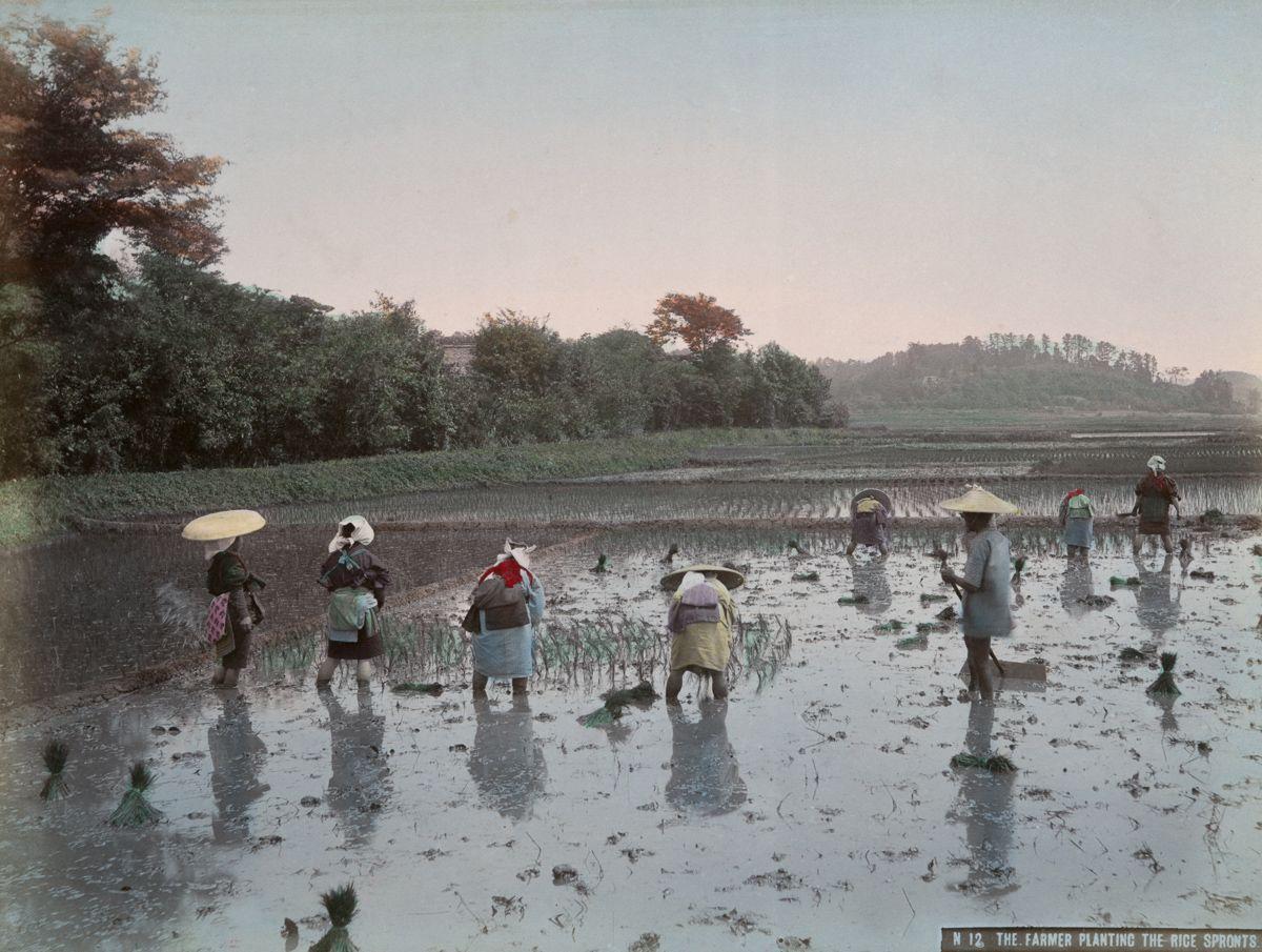 农夫在田里插秧。(New York Public Library)