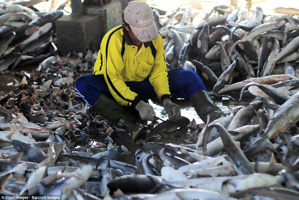 A worker sits on the floor as he cuts off the shark fins and leaves them on the floor around him
