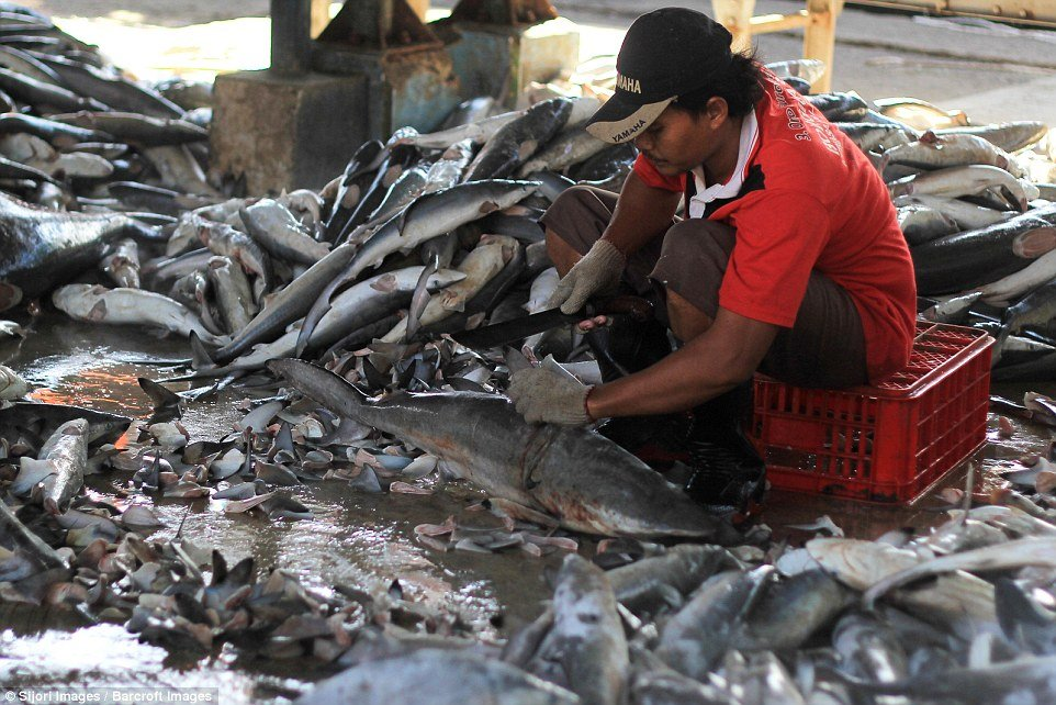 A man is pictured slicing off the fin of one dead shark on the floor at the Indonesian market