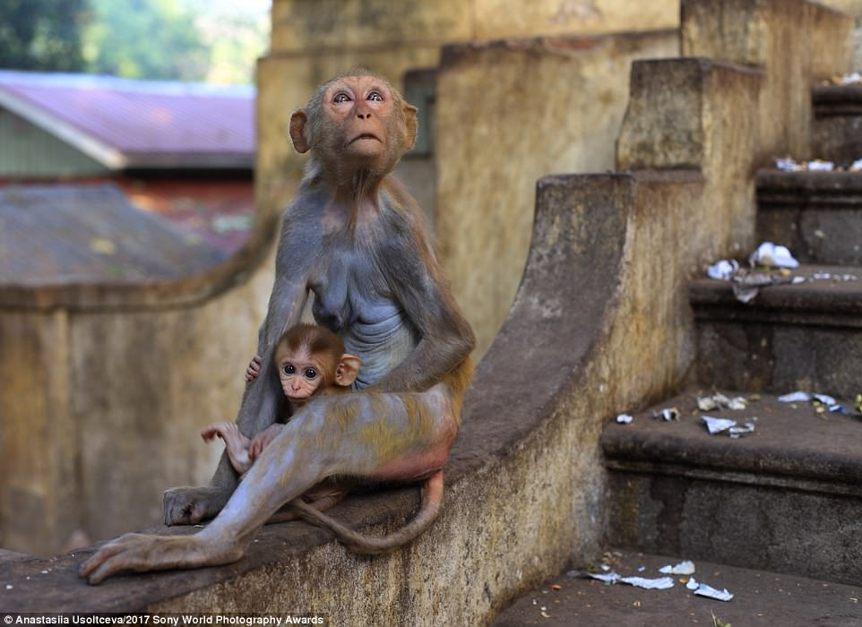 Cute alert: Wild monkeys at the walls of the monastery on Mount Popa, Myanmar