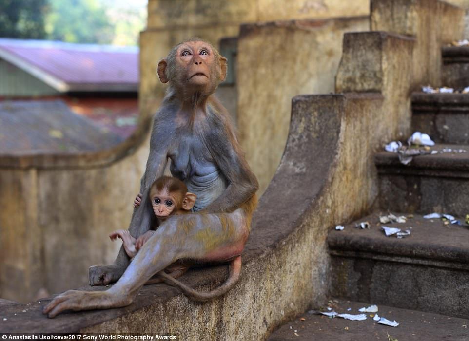 Cute alert:Wild monkeys at the walls of the monastery on Mount Popa, Myanmar