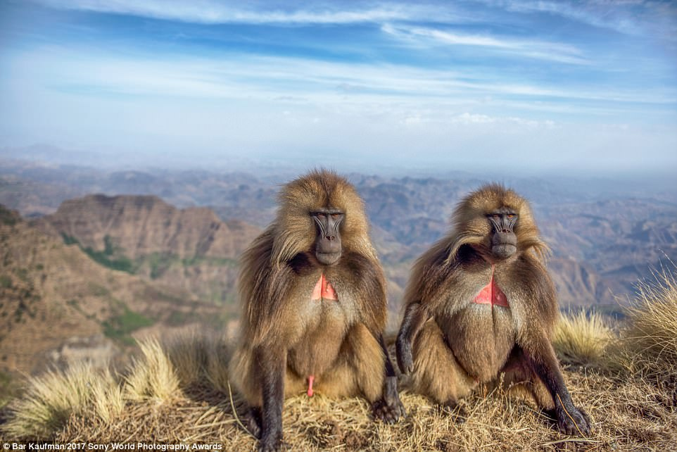 Baboons at the highlands of Ethiopia.