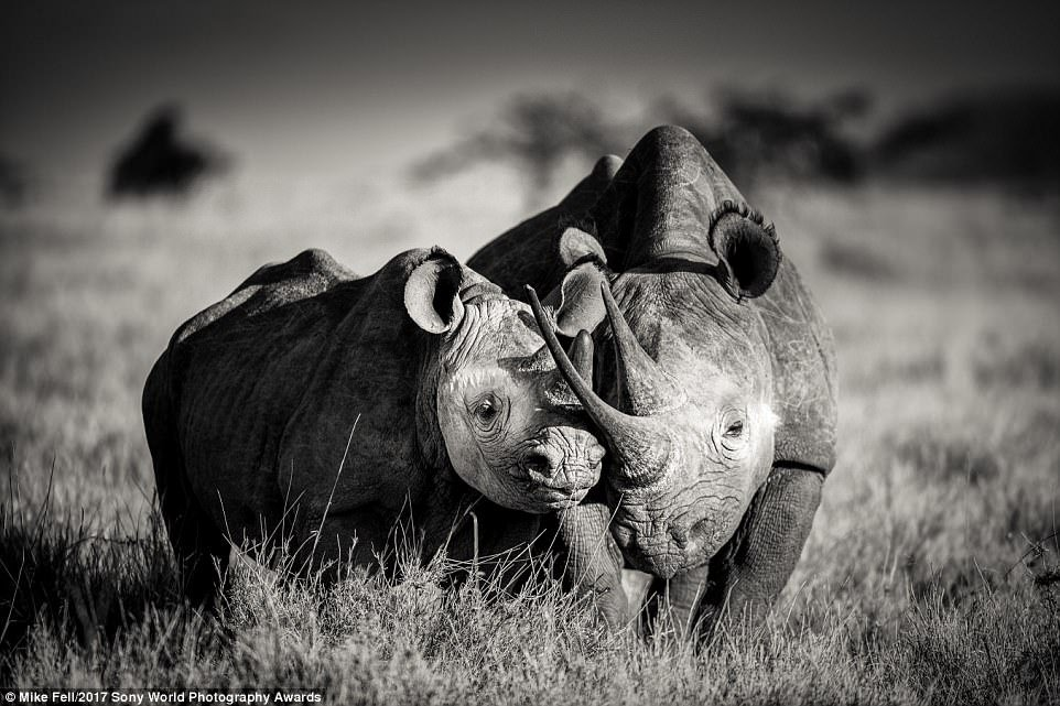 Abeautifully composed shot of a black rhino cow showing maternal affection to her calf at Lewa Wildlife Conservancy in Kenya