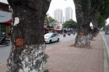 Hà Nội: Hàng loạt cây xà cừ trên đường Láng bị lột vỏ