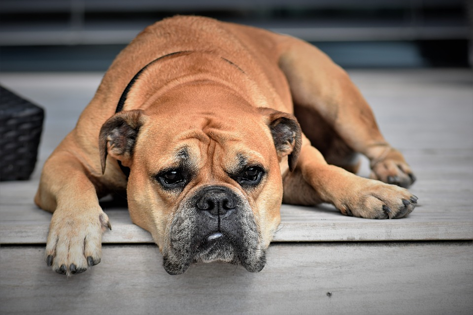 Chú chó trung thành và sự hiểu lầm bi thương