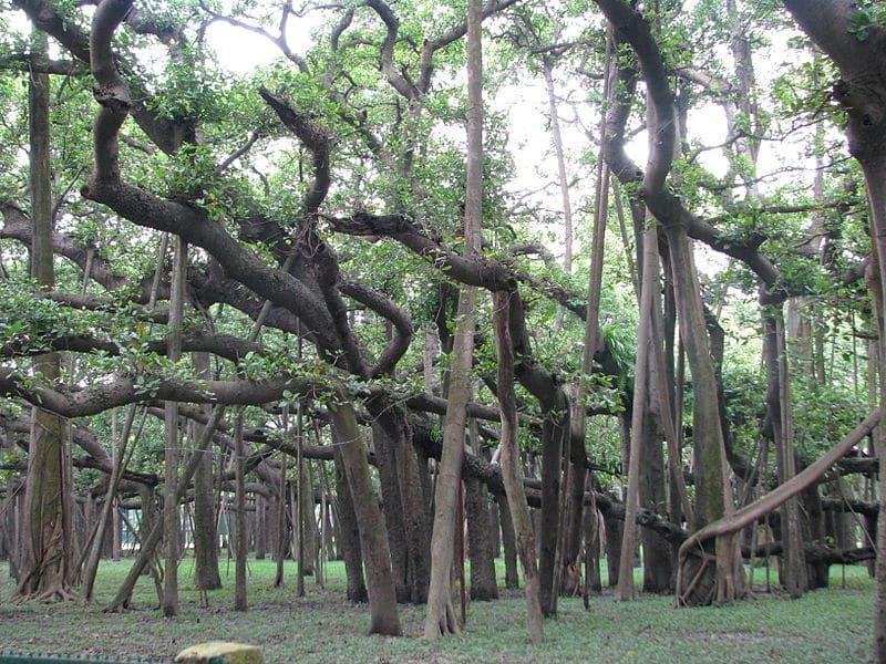 Cây Gừa rộng nhất thế giới