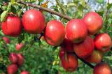 6 công dụng 'thần kỳ' của táo có thể bạn chưa biết