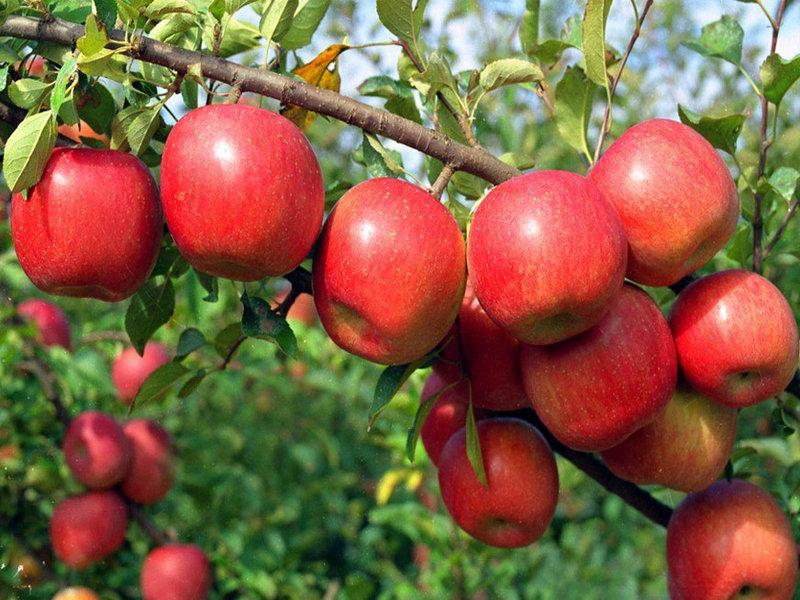 công dụng thần kỳ của táo