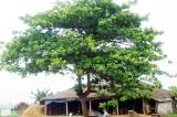 Gần nhà tôi có một cây bàng…