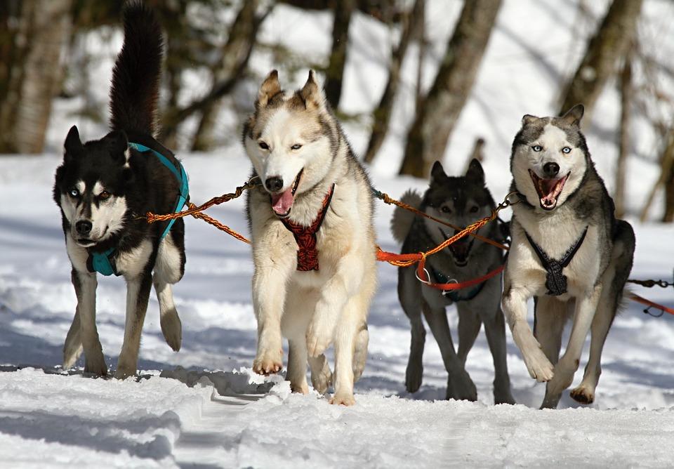 Huskies, Khàn Khàn, Đôi Mắt Xanh, Con Chó, Tuyết