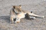 Hy hữu: Sư tử cái tràn đầy tình mẹ nhận nuôi một con báo con