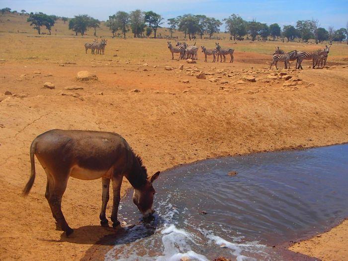 man brings water wild animals kenya 6 58aac6e8aca1d  700 Kenya: Người nông dân chở hàng ngàn lít nước mỗi ngày để cứu động vật hoang dã