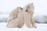 Những bà mẹ xả thân vì con trong thế giới động vật