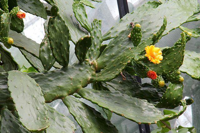 Caribbean tree cactus