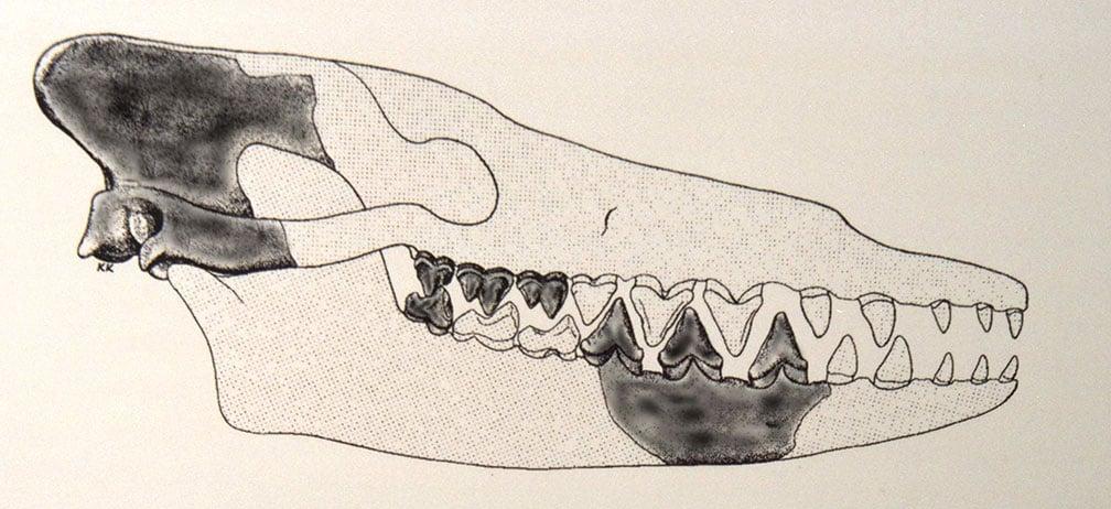 Xương sọ của con Pakicetus, phần màu tối là các mẩu xương thật, còn lại đều dựa vào xương cá voi cổ đại