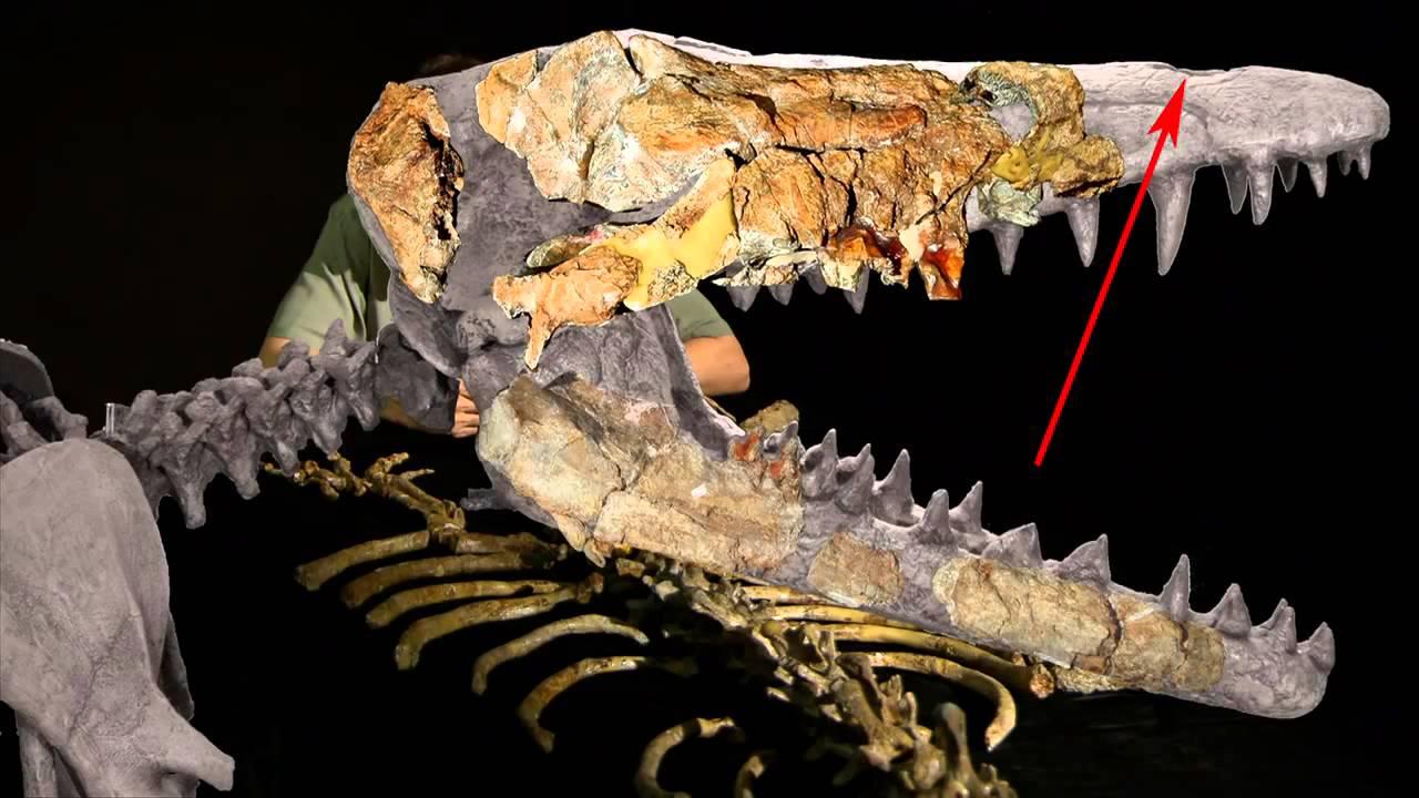 Hóa thạch Ambulocetus không cho thấy có lỗ phun nước (Ảnh chụp/Youtube)
