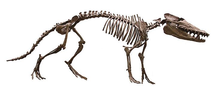 Bộ xương hoàn chỉnh của con Pakicetus được tìm thấy năm 2001