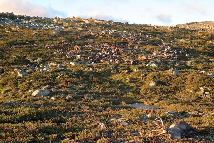 Công viên quốc gia này có khoảng 10.000 đến 11.000 con tuần lộc, rộng 8000 km2 (ảnh: Havard Kjontvedt/Cục thanh tra thiên nhiên Na Uy)