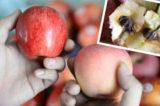 Phân biệt giữa táo Trung Quốc và táo nhập khẩu. Táo Trung Quốc tuy bên ngoài vẫn tươi nhưng bên trong đã thối và mốc đen. (Ảnh Internet)
