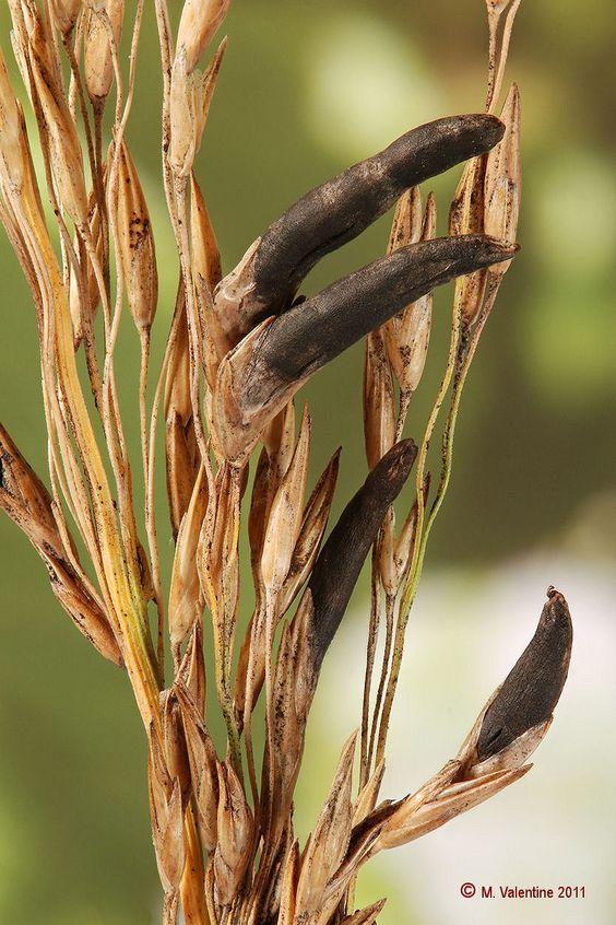 nấm cựa gà - một loại nấm mọc trên lúa mạch đen và các loại hạt khác