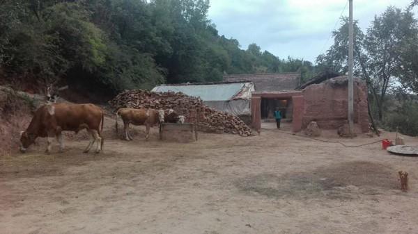 3 con bò, lý do chính để hủy bỏ trợ cấp hộ nghèo cho gia đình chị Dương Cải Lan.