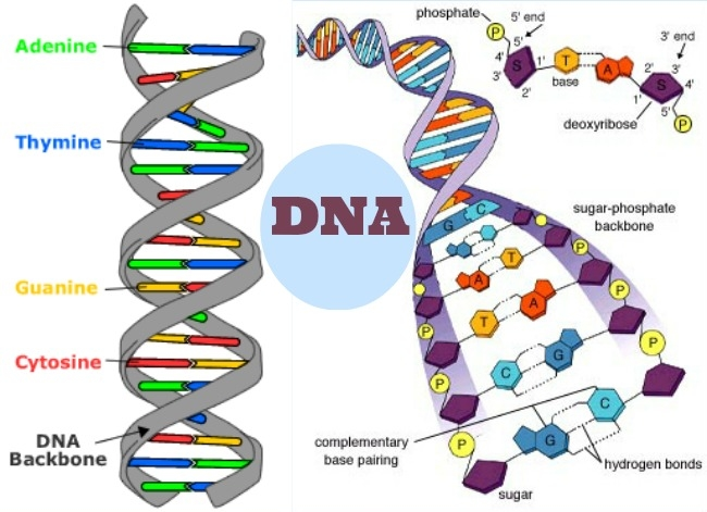 dna-amazing-facts