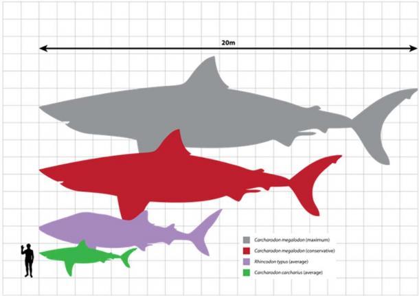 Biểu đồ so sánh kích thước tương đối giữa megalodon (kích thước ước tính trong khoảng 15-20 m), cá mập voi (9,7 m), cá mập trắng lớn (5,2 m) và một người trưởng thành (1,8 m). (Ảnh: Wikipedia)