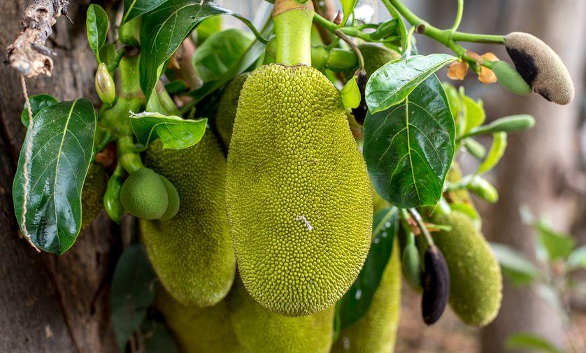 Mít phát triển mạnh khi gặp điều kiện phù hợp. (Ảnh: Haripat Jantawalee/Shutterstock)