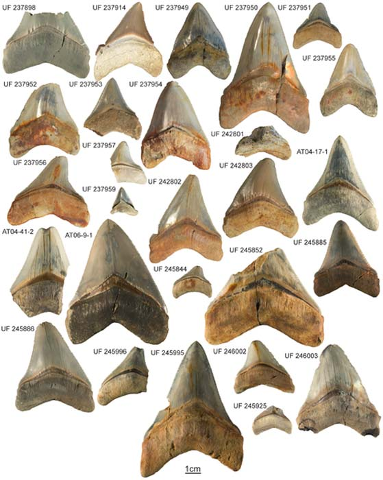 Bộ sưu tập răng loài cá mập megalodon từ thành hệ Gatun. Ảnh chụp mẫu vật và số hiệu tương ứng. (Ảnh: Wikipedia)