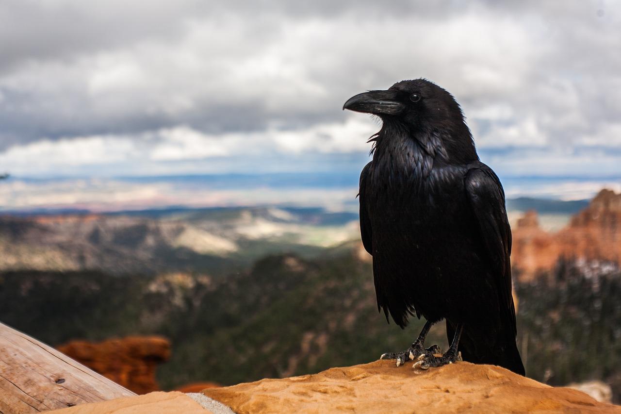 crow-828944_1280
