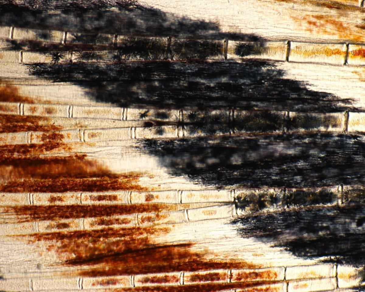 Vây cá ngựa vằn (Leonardo Andreda/Nikon Small World)