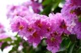 """Có một loài hoa không phải ai cũng biết: """"Bằng lăng nâu"""""""