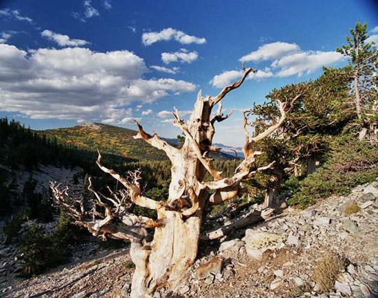Cá thể Bristlecone đã chết với tuổi thọ ước tính là 9.000 năm (Ảnh: James R Bouldin, Wikimedia)